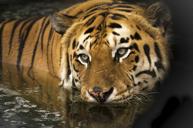 tiger wildlife photo- tip get eyelevel